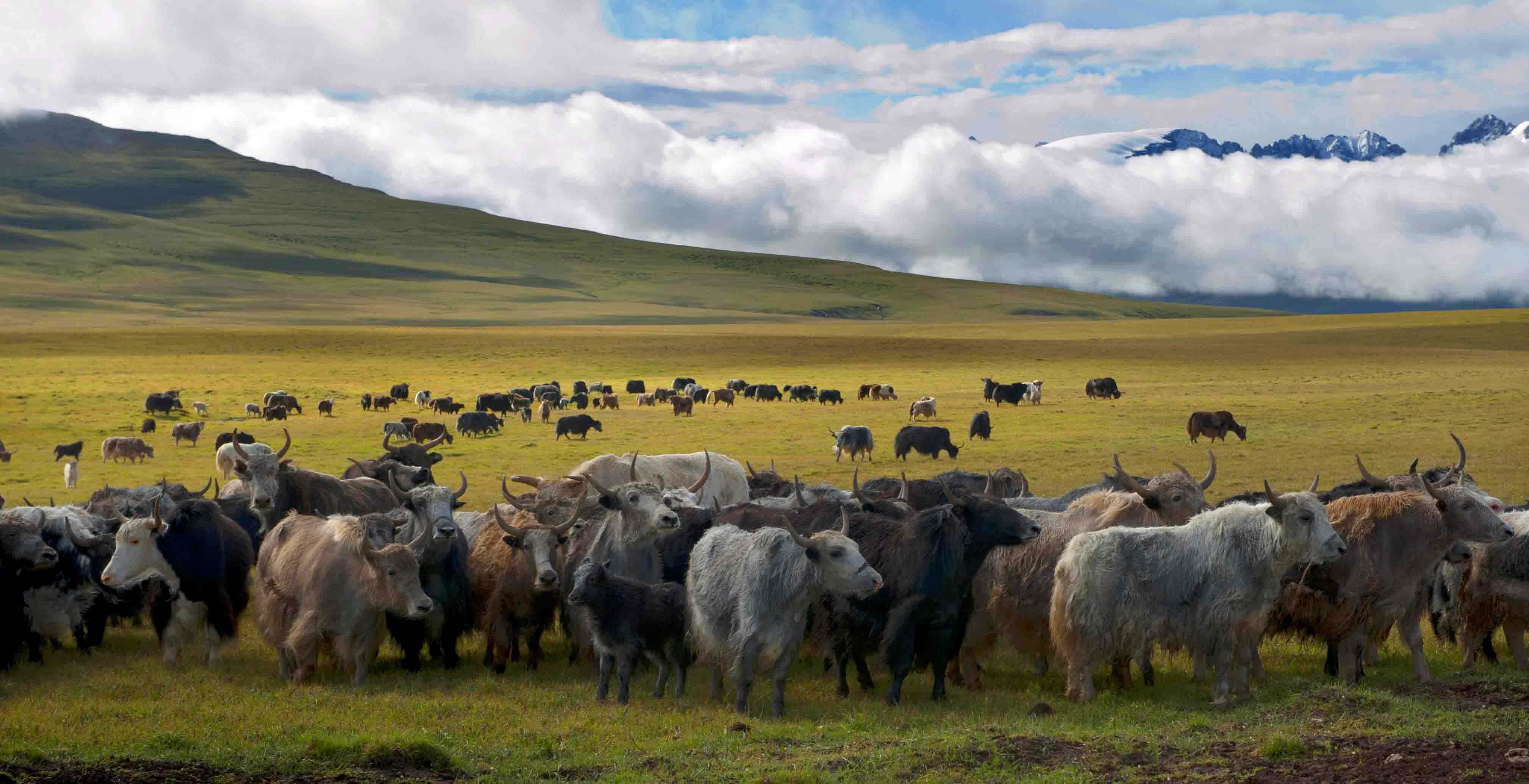 林周县千万元牦牛短期育肥养殖项目今年将投产